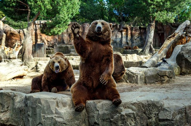 A brown bear welcomes visitors at the Madrid Zoo. (Photo by Caters News)