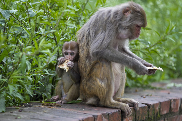In this July 8, 2019, photo, monkeys eat rotis, or flat bread, distributed by Saraswati Dangol in the forest near Pashupatinath temple in Kathmandu, Nepal. For the past four years, Dangol has been bringing the bread every day to feed the monkeys. As soon as they see her with her white sack, they gather around her, some patiently waiting for their turn while others less patiently snatching the bread from her hands. Many of Dangol's regulars are elderly, or are mother or baby monkeys who are unable to fight for their share of food in the wild. (Photo by Niranjan Shrestha/AP Photo)