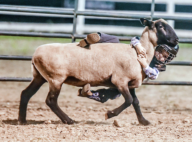 Keegan Sparks holds on during the mutton bustin' competition Thursday, June 25, 2015., at the Garrard County Fair near Lancaster, Ky. Each competitor had to 60 pounds or fewer. (Photo by Clay Jackson/The Advocate Messenger via AP Photo)