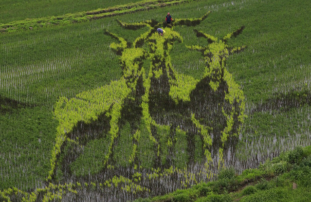 Farmers work in a 3D plantation depicting three goats in a paddy field in Shenyang, the capital of the Liaoning province, China, 25 June 2015. Local Xibo farmers, an ethnic Chinese group, made use of different colors and varieties of rice saplings in order to mimic the 3D effect which is a tradition of creating patterns on their rice fields as a way of praying for blessings. (Photo by Tian Weitao/EPA)