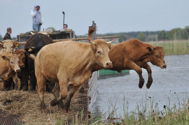 Cows jump off the boat after arriving to the islands of Swina river reverse delta in the Wolin National Park, in Swinoujscie, northern Poland, 06 May 2014. Grazing of cows began from the beginning of May, something which successfully replaces the traditional method of mowing the grass. Due to grazing, unique species of plants are reviving and forming new breeding sites of rare species of birds. Grazing of the animals will continue to Fall. (Photo by Marcin Bielecki/EPA)
