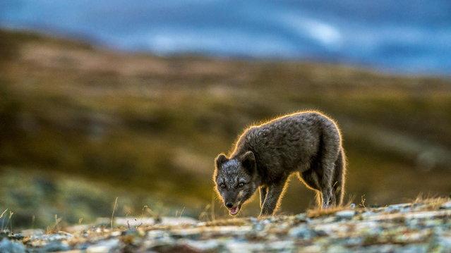 Arctic Fox. (Photo by Trond Eriksen)