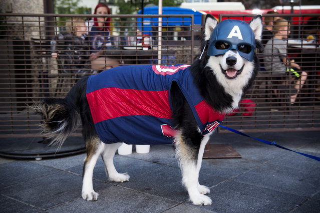Captain America aka Gambit the Dog poses for a portrait during Denver Comic Con at the Colorado Convention Center on July 1, 2017, in Denver, Colorado. (Photo by Seth McConnell/The Denver Post)