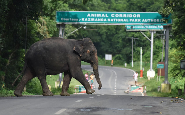 An elephant crosses National Highway-37, which passes through the flooded Kaziranga National Park in the northeastern state of Assam on August 14, 2017. (Photo by Biju Boro/AFP Photo)