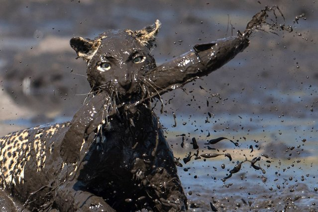 A leopard leaps into a muddy waterhole to catch a fish on August 13, 2015, in the Savuti Channel in Botswana.  (Photo by Greatstock/Barcroft Media)