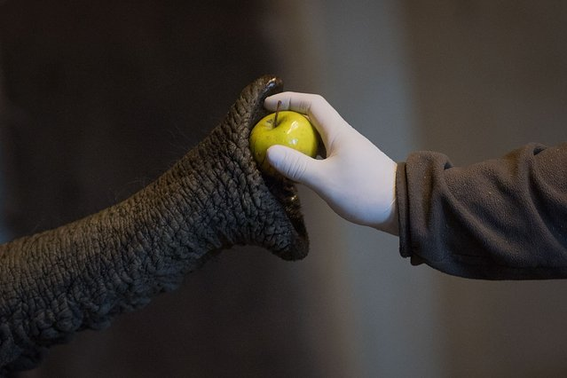 "A care worker wearing protective gloves and mask feeds an elephant at the zoologic park ""Planete Sauvage"" in Saint-Pere-en-Retz, outside Nantes, on May 6, 2020, on the 51st day of a lockdown in France aimed at curbing the spread of the COVID-19 pandemic, the novel coronavirus. (Photo by Loic Venance/AFP Photo)"