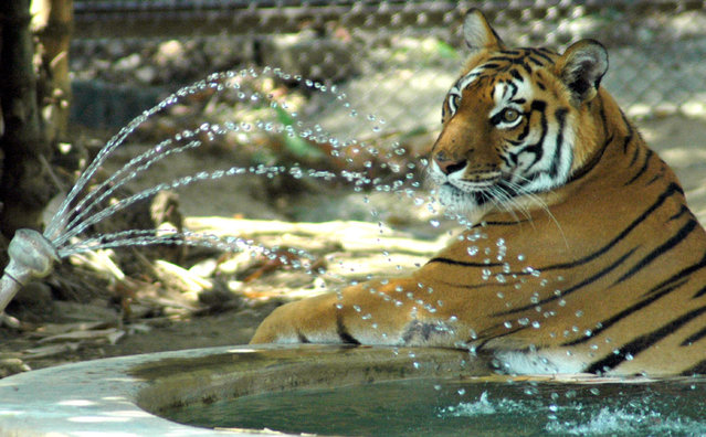 A royal Bengal tiger enjoys a shower in a pond to get some respite from the heat wave in his enclosure at Patna zoo April 9, 2006. (Photo by Reuters/Stringer)