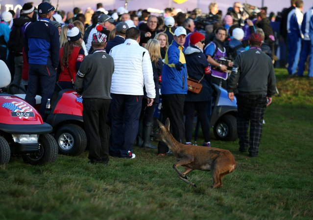 A deer on the first tee during day one of the 40th Ryder Cup at Gleneagles Golf Course, Perthshire, on September 26, 2014. (Photo by Andrew Milligan/PA Wire)