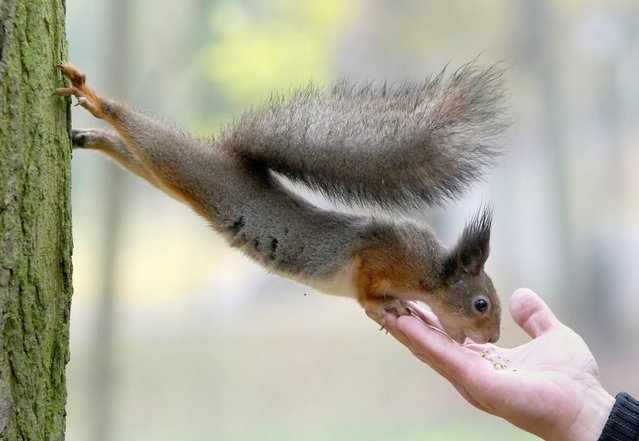 A squirrel stretches to eat a nut from a man's hand in the central park in Minsk, Belarus, 21 October 2012. People and small animals enjoy the beginning of Autumn mild weather in the area. (Photo by Tatyana Zenkovich/EPA)