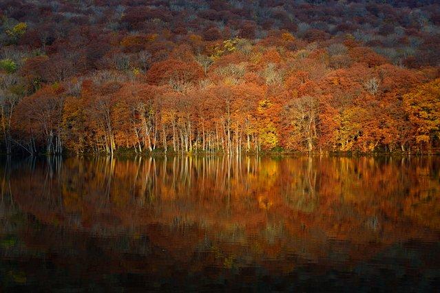 """Blazing"". Tsuta-swamp in Aomori Japan. The autumn leaves blazing in response to the morning sun. Photo location: Towada Aomori, Japan. (Photo and caption by Sho Shibata/National Geographic Photo Contest)"