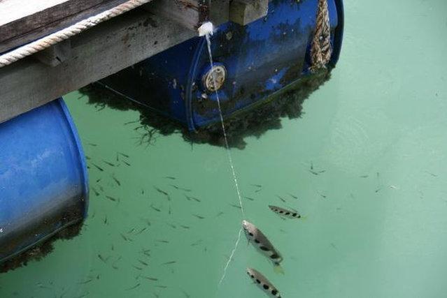 The Archerfish