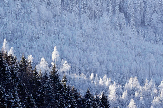 Trees covered in ice and snow can be seen in Garmisch- Partenkirchen, Germany, 19 January 2017. During the night, the temperature fell below minus 20 degrees Celsius. (Photo by Stephan Jansen/DPA)