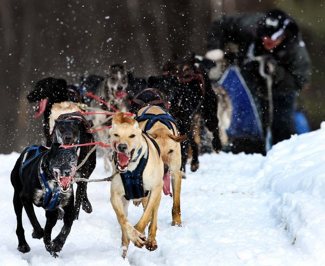 Justin Fortier of St. Raymond, Quebec guides his sled dog team to the finish line to win the open class of the Laconia World Championship sled Dog Race in Laconia, N.H., March 3, 2013 (Photo by Jim Cole/Associated Press)