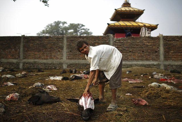 "A man removes the tongue from the head of a sacrificed buffalo a day after the sacrificial ceremony of the ""Gadhimai Mela"" festival held in Bariyapur November 29, 2014. (Photo by Navesh Chitrakar/Reuters)"