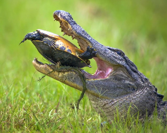The Alligator Ineffectually Trying to Crack the Turtles Tough Shell
