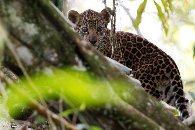 A jaguar cub, stands atop a tree during a flood at the Mamiraua Sustainable Development Reserve in Uarini, Amazonas state, Brazil, June 5, 2017. (Photo by Bruno Kelly/Reuters)
