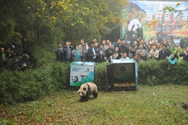 A giant panda is released into the wild in Shimian county, Sichuan province, China, October 20, 2016. (Photo by Reuters/China Daily)