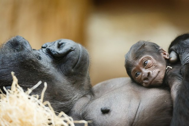 Western lowland gorilla Kijivu holds her newborn baby at the Prague Zoo in the Czech Republic. (Photo by Isifa/Getty Images)
