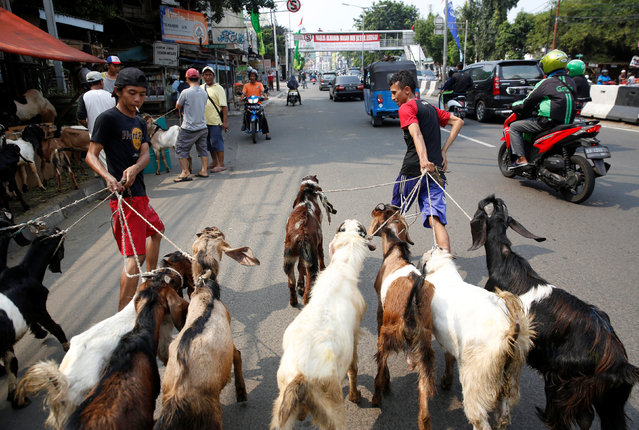 Worker walk goats for sale for the upcoming Muslim Eid Al-Adha holiday down a street in Jakarta, Indonesia September 11, 2016. (Photo by Darren Whiteside/Reuters)
