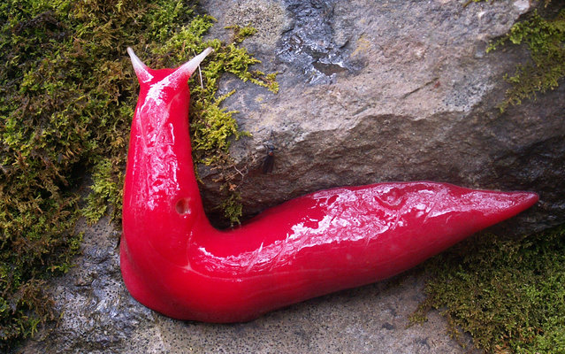 It would seem to be something you'd see only in a cartoon or at a Phish concert, but according to park rangers in New South Wales, Australia, dozens of giant, fluorescent pink slugs have been popping up on a mountaintop there. (Photo by Michael Murphy/AFP Photo/NSW Environment Office)