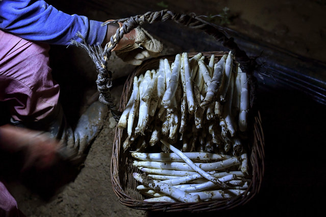 In this Thursday, May 31, 2018 photo, a temporary worker using a lantern collects white asparagus from a field in Caparroso, around 85 km (52 miles) from Pamplona, northern Spain. (Photo by Alvaro Barrientos/AP Photo)