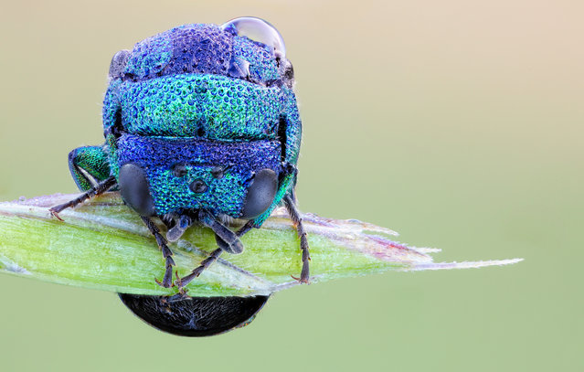 Sleeping Cuckoo Wasp. Holopyga generosa (I presume); Size: 7mm. (John Hallmén)
