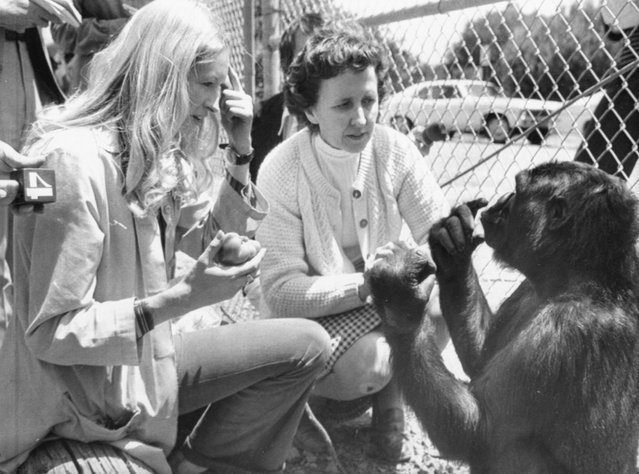 "Koko, a four and a half year old gorilla, who has been taught some sign language, made her debut her 5/19. At left Francine ""Penny"" Patterson, graduate student at Stanford and main instructor of Koko, asks the gorilla if she is hungry and Koko is answering back that she is. In center is June Monroe, an interpreter for the deaf at St. Luke's Church, who helped teach Koko. The famed gorilla Koko, known for mastering sign language and building a rapport with humans, has died in California, a research center announced Thursday, June 21, 2018. She was 46. (Photo by Bettmann Archive/Getty Images)"