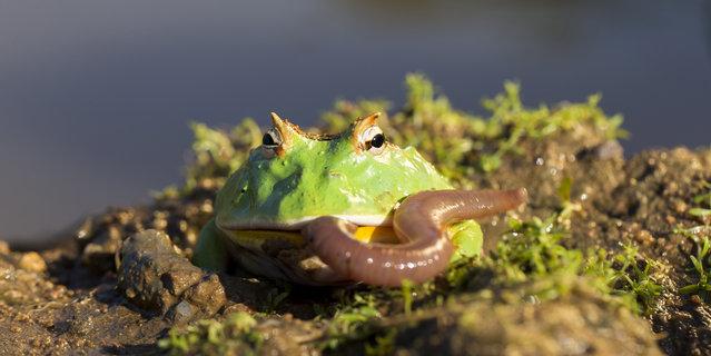 Argentinian Horned Frog, ceratophrys cranwelli x ornata in Bitovany, Czech Republic on July 12, 2014. (Photo by Ondrej Zaruba/CTK/ABACAPress)
