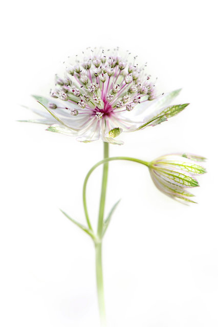 Astrantia major by Jacky Parker, Hampshire, United Kingdom. (Photo by Jacky Parker/International Garden Photographer of the Year)