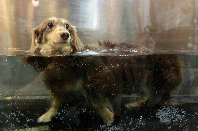 A dog walks inside a microbubble underwater treadmill for pets at the 2013 Taipei Pet Show in Taiwan on July 27, 2013. (Photo by Pichi Chuang/Reuters)