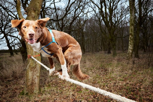 Undated handout photo issued by Guinness World Records of Ozzy a Border Collie/Kelpie crossbreed from Norwich in England, who has made it into the Guinness Book of World Records for the fastest crossing of a tightrope by a dog. The 4-and-half-year-old successfully crossed a rope measuring 3.5 meters in 18.22 seconds at the F.A.I.T.H. Animal Rescue Centre in Norfolk, UK. (Photo by Guinness World Records/PA Wire)