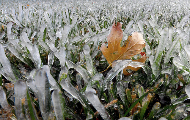 A maple leaf is lodged amidst blades of grass that are encased in ice Wednesday afternoon November 12, 2014, in Salina Kan. (Photo by Tom Dorsey/AP Photo/Salina Journal)