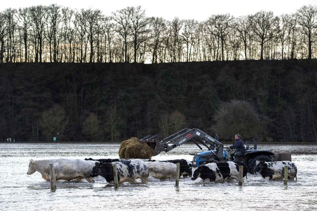 A farmer guides his cows through flood waters after the Dirk storm provoked floods in Han-sur-Lesse, Wallonia, on December 25, 2013. (Photo by Anthony Dehez/AFP Photo/BELGA)