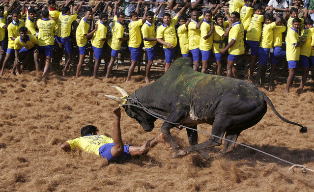 A bull charges towards a tamer during the bull-taming sport called Jallikattu, in Palamedu, about 575 kilomters (359 miles) south of Chennai, India, Tuesday, January 15, 2013. (Photo by Arun Sankar K./AP Photo)