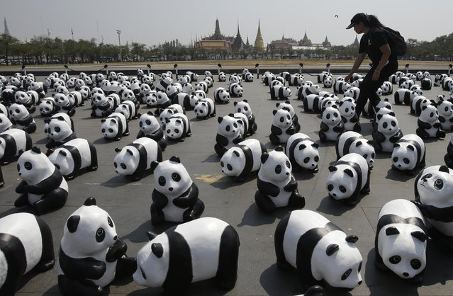 A worker displays paper pandas created by French artist Paulo Grangeon in front of the Grand Palace in Bangkok, Thailand, Friday, March 4, 2016. The exhibit is part of the World Wide Fund's project where the 1600 paper pandas symbolize the last pandas still present in nature.(Photo by Sakchai Lalit/AP Photo)