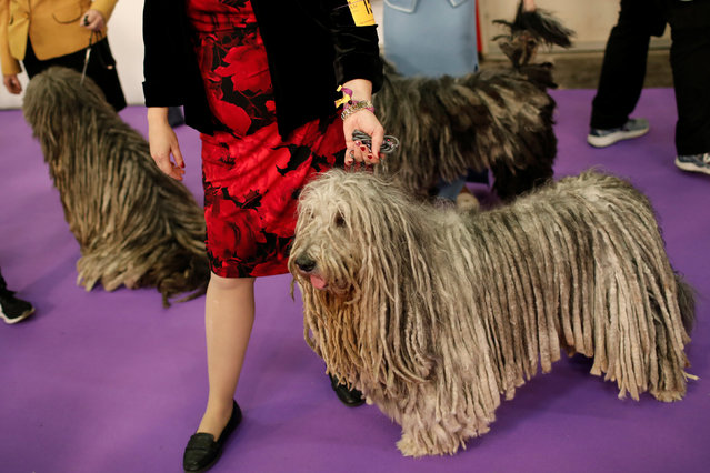 Bergamascos wait with handlers  before competition at the 141st Westminster Kennel Club Dog Show in New York City, U.S. February 13, 2017. (Photo by Mike Segar/Reuters)