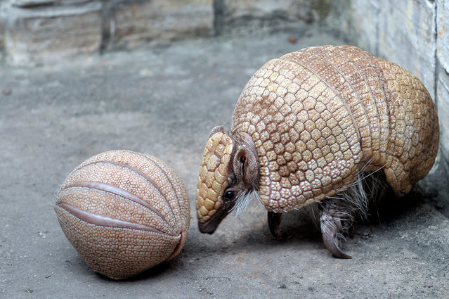 A four-week old southern three-banded armadillo (Tolypeutes matacus) is rolled up into a ball next to its mother in the tropical house of Budapest Zoo in Budapest, Hungary on May 3, 2019. The South American insect-eating mammal and its close relative, the Brasilian three-banded armadillo (Tolypeutes tricinctus) are the only two species of armadillos capable of rolling into a complete ball to defend themselves when feeling threatened. (Photo by Attila Kovács/EPA/EFE)