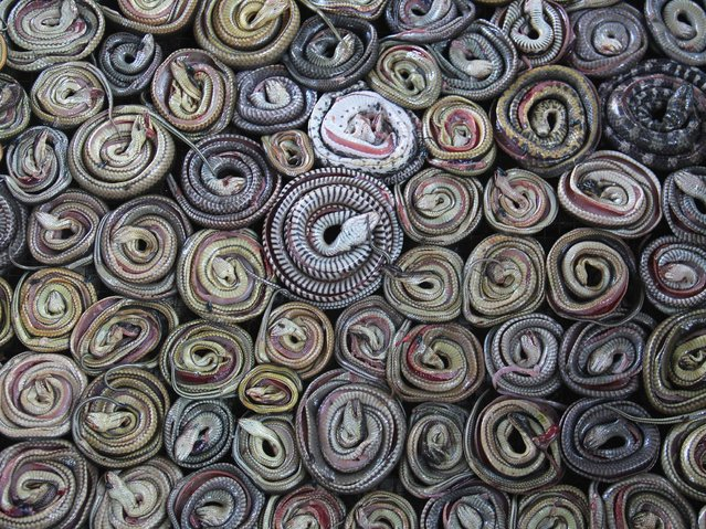Snakes are collected and rolled before putting into the oven on March 2, 2014 in the village of Kertasura, Cirebon, Indonesia. (Photo by Nurcholis Anhari Lubis/Getty Images)
