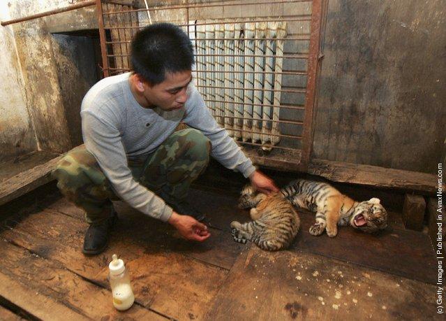 A feeder feeds milk to a Siberian tiger cub