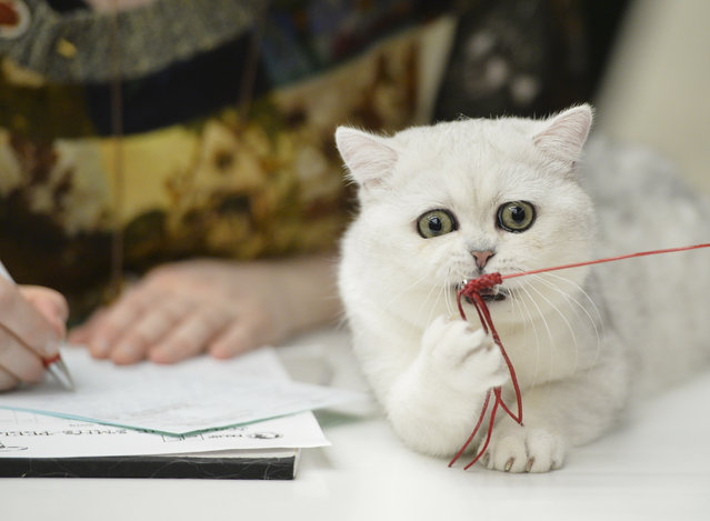A British Shorthair kitten plays with a toy while being evaluated at an international feline beauty show in Bucharest, Romania, Saturday, March 8, 2014. The two-day international feline beauty contest drew hundreds of cats from several countries. (Photo by Andreea Alexandru/AP Photo/Mediafax)