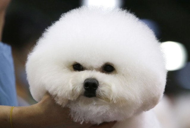 A male Bichon Frise is groomed for a dog show in Seoul, South Korea, Friday, June 26, 2015. The dog show will be held from June 26 to June 28. (Photo by Lee Jin-man/AP Photo)