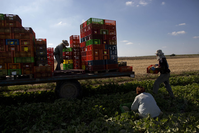 In this Tuesday, June 30, 2015, photo, Thai workers collect melons in a field outside Kibbutz Nahal Oz on the border between Israel and Gaza. (Photo by Oded Balilty/AP Photo)