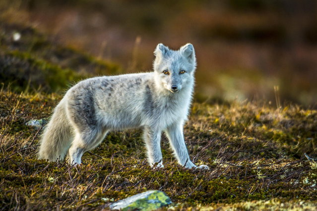 Arctic Fox. (Photo by Trond Eriksen)
