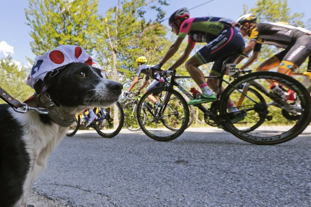 The owner of a dog has his dog wear a cycling cap of the best climber's dotted jersey as the pack passes during the during the seventeenth stage of the Tour de France cycling race over 161 kilometers (100 miles) with start in Digne-les-Bains and finish in Pra Loup, France, Wednesday, July 22, 2015. (Photo by Christophe Ena/AP Photo)