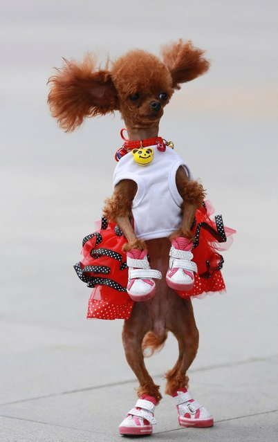 A one-year-old poodle dressed in shoes and a costume stands up as it plays with its owner at a square in Shenyang, Liaoning province. (Photo by Reuters/Stringer)