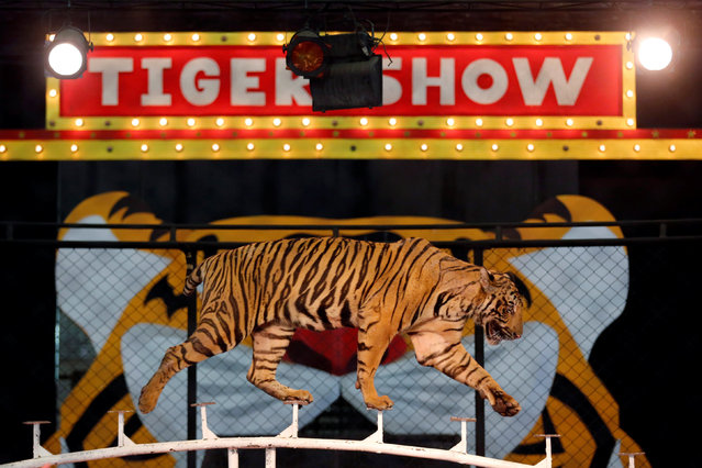 A tiger walks on a fence during a performance for tourists at the Sriracha Tiger Zoo, in Chonburi province, Thailand, June 7, 2016. (Photo by Chaiwat Subprasom/Reuters)