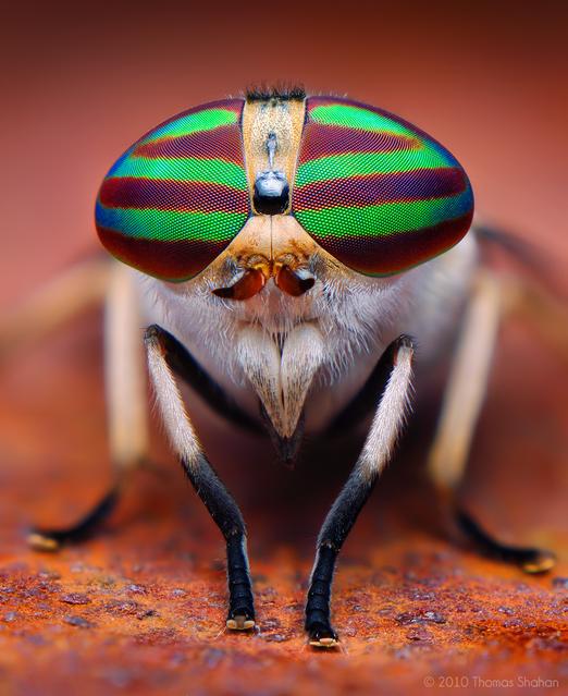 Female Striped Horse Fly (Tabanus lineola)