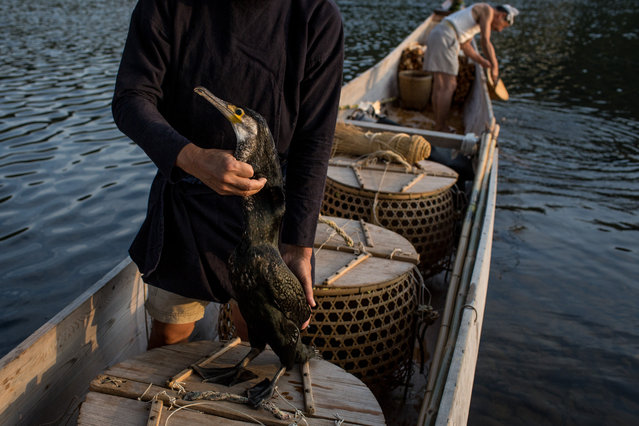 """Cormorant master, Mr. Masahiko Sugiyama checks the condition of one of his sea cormorants ahead of the nights """"Ukai"""" on July 2, 2014 in Gifu, Japan. In this traditional fishing art """"ukai"""", a cormorant master called """"usho"""" manages cormorants to capture ayu or sweetfish. The ushos of River Nagara have been the official staff of the Imperial Household Agency of Japan since 1890. Currently six imperial fishermen of Nagara River conduct special fishing to contribute to the Imperial family eight times a year, on top of daily fishing from mid-May to mid-October. (Photo by Chris McGrath/Getty Images)"""