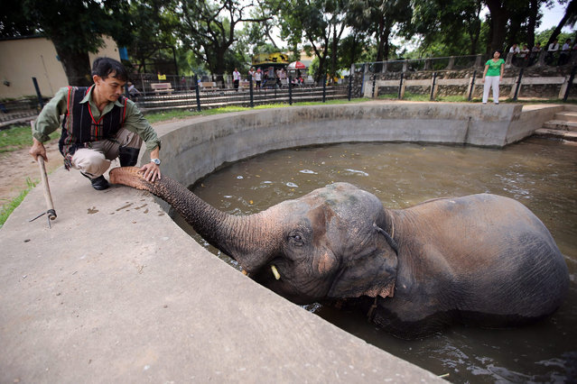 A mahout plays with an elephant at the Hanoi Zoo in Hanoi, Vietnam, 10 August 2015. The elephants at Hanoi Zoo have been unchained at the ankles after having spent most of their lives constrained by them, according to Animals Asia Foundation (AAF). World Elephant Day is marked on 12 August 2015. (Photo by Minh Hoang/EPA)