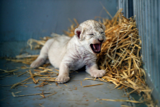 A newborn lion cub squeals in a cage at the al-Ma'wa wildlife reserve in Jerash, Jordan on August 16, 2017. (Photo by Muhammad Hamed/Reuters)